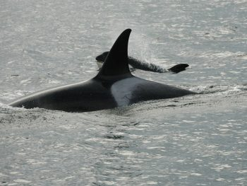 Coastal Island Fishing Adventures is a Campbell River - passing Orca Whales